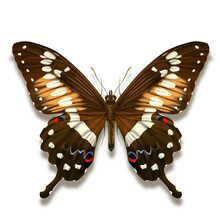 Western Emperor Swallowtail Butterfly With With Black Brown Velvet Wings And White Markings From Africa