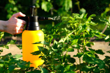 Woman Hand Holding Garden Sprayer Bottle And Spraying A Potato Stalks Against Plant Diseases And Pests. Use Hand Sprayer With Pesticides In The Garden.