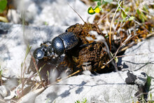 Two European Dung Beetles Figh...