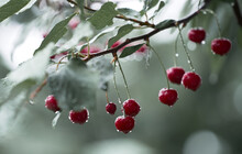 Cherry Berries Are Hanging Wit...