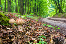 Two Young Mushrooms Grow In The Woods. Edible Blusher Fungi Amanita Rubescens
