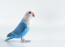 Blue And Gray Lovebird With White Background