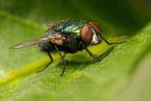 The Common Green Bottle Fly (L...