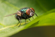 The Common Green Bottle Fly (Lucilia Sericata)