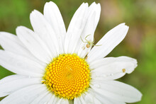 Crab Spider On A White And Yel...