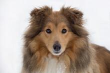 Portrait Of Cute Scotch Collie...