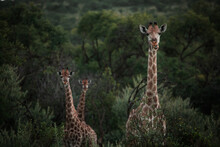 An Adult Giraffe Looks At The ...