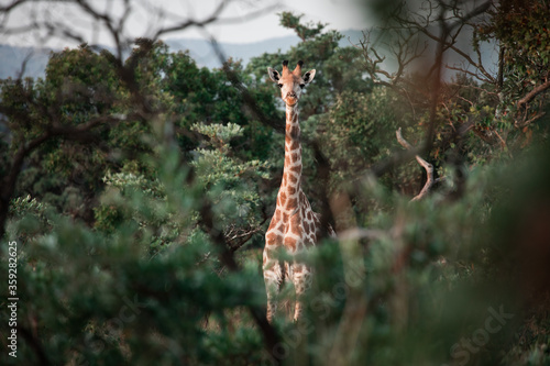 Giraffe looks at the camera through some trees