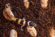 Cute Leopard Gecko Hatching Of Egg. Little Lizard (Eublepharis Macularius).