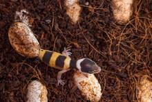 Cute Leopard Gecko Hatching Of...