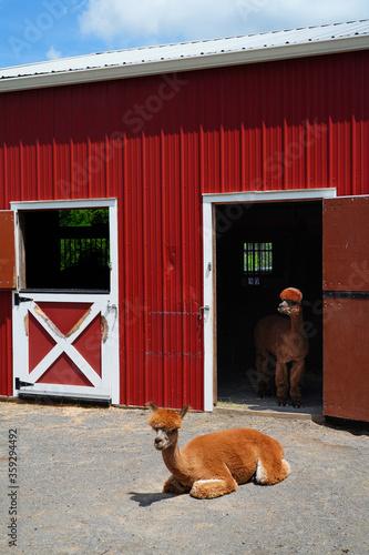 A brown alpaca in front of a red barn door