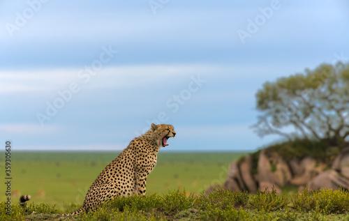 Cheetah male walking and looking for prey Wallpaper Mural
