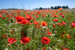 Blooming red poppies on a field, beautiful agricultural landscape in northern Germany