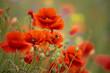 kwiaty maków polnych i pszczoła