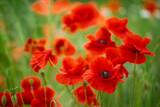 Fototapeta Kwiaty - kwiaty maków polnych i pszczoła