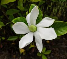 One White Gardenia Blossoms Wi...