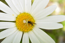 A Crab Spider Holds A Freshly ...