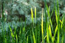 Green Backlit Cattail Reeds Ba...