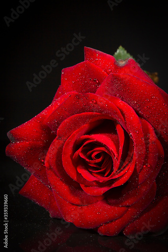 Scarlet rose with dew drops