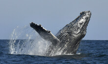 Humpback Whale Breaching. Humpback Whale Jumping Out Of The Water. South Africa.