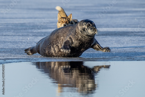 The dog attacks the seal. The bearded seal, also called the square flipper seal. Scientific name: Erignathus barbatus. White sea, Russia #359343037