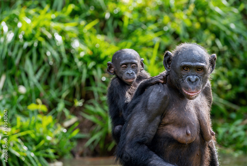 Bonobo Cub on the mother's back. A bonobo with baby. Green natural background.  Scientific name: Pan paniscus. Democratic Republic of Congo. Africa. #359343047