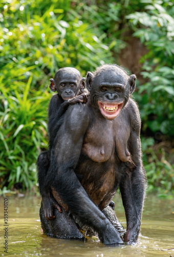 Bonobo Cub on the mother's back. A bonobo with baby is standing in the water. Green natural background.  Scientific name: Pan paniscus. Democratic Republic of Congo. Africa. #359343070