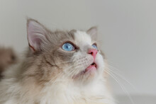 Fat Grey Ragdoll Cat Look Up, Side Face,  Blue Eyes, Long Hair,pink Nose