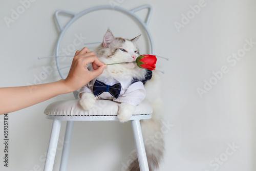 Handsome ragdoll cat in blue suit bite red flower Canvas-taulu