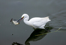 Great Egret Catching A Fish, R...