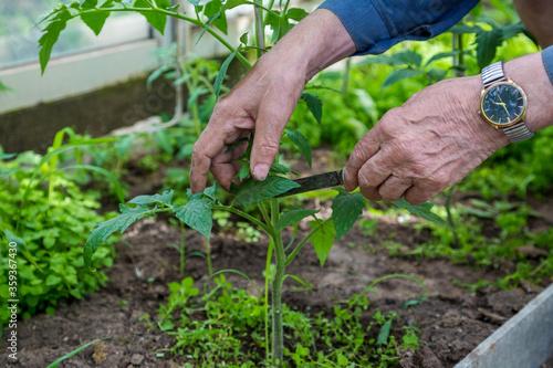 Fototapeta men adult pinch and remove suckers on tomato plant obraz