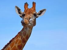 Portrait Curious Giraffe Head ...
