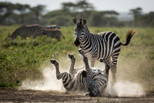 One Of Two Zebras Lying On Her...
