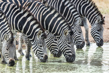 Close Up On A Zebra Herd Drink...