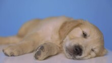 Cute Golden Retriever Dog Lying Down, Resting His Head On The Floor, Half Asleep On Blue Background