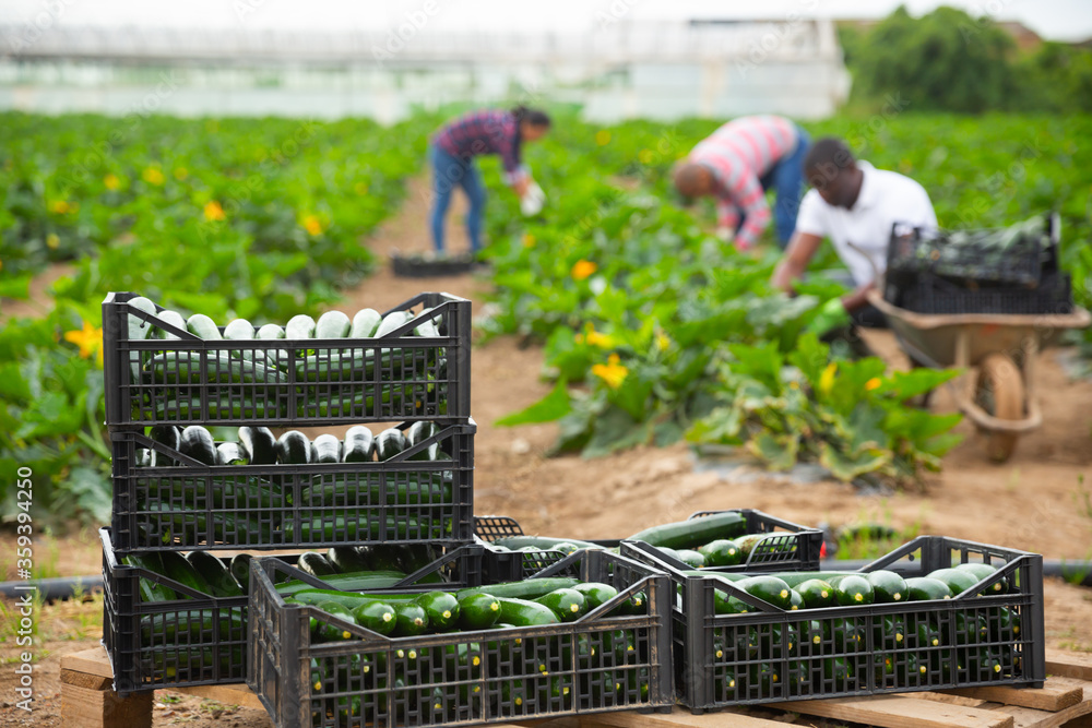 Fototapeta Boxes with harvested zucchini on background with busy workers