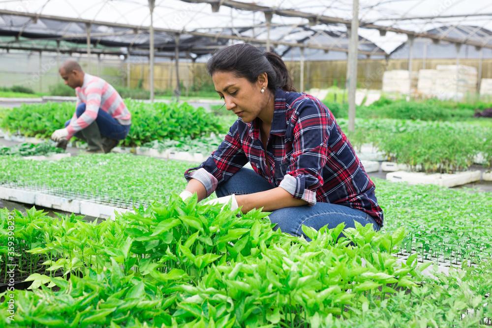 Fototapeta Latina woman working with seedling in greenhouse