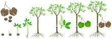 Cycle Of Growth Of Rubber Tree...