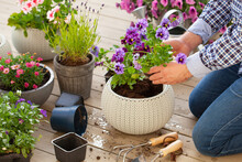 Man Gardener Planting Pansy, L...