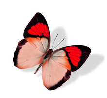 Great Red Butterfly Flying Iso...