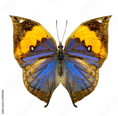 Indian leaf or Oakleaf butterfly upper wing in natural color profile isolated on Fototapete