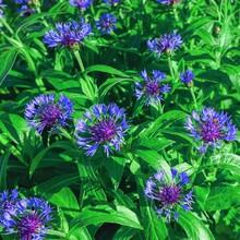 Blue Knapweed Or Centaurea Scabiosa. Blue Gentle Beautiful Flowers Of Cornflowers Growing On Garden Flower Bed.