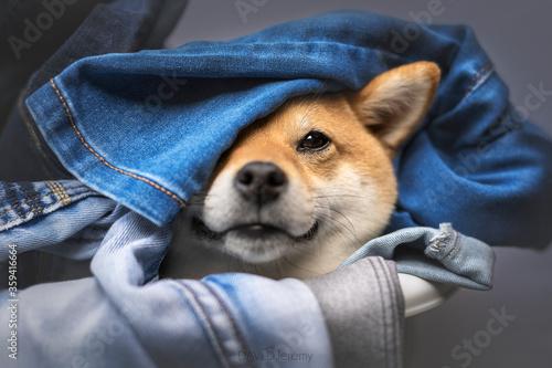 Stampa su Tela chien dans le linge