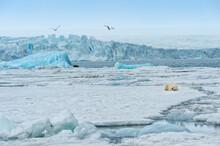 Female Polar Bear (Ursus Marit...