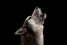 Isolated Siberian Husky Dog Howling Profile Close Up Head Shot Portrait Against A Black Background