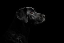 Isolated Black Labrador Retrie...