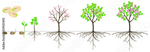 Fototapeta Cycle of growth of pistachio plant on a white background. obraz