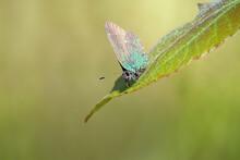 Green Hairstreak Butterfly (Ca...
