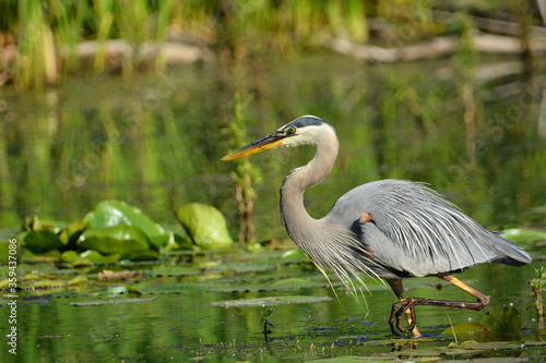 Photo Great Blue Heron