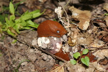 Two Orange Slugs Eat Mushroom In Summer Forest